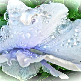 Drenched Pansy Macro by Bonnie See
