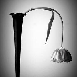 Drooping Tulip by Laurie Minor