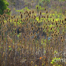 Dry Teasel Color by Mitch Shindelbower