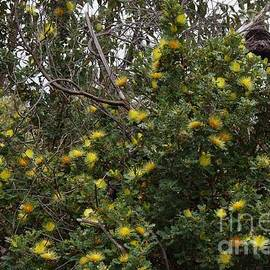 Dryandra Bush by Lesley Evered