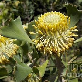 Isopogon, coneflower by Lesley Evered