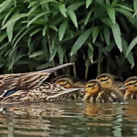 Duck Family, Indiana by Steve Gass