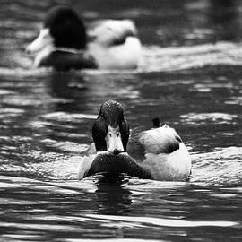 Duck Patrol by Gander Photo