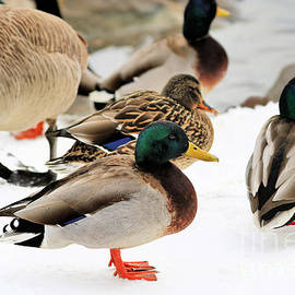 Ducks Of A Feather by Diann Fisher