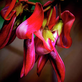 Dusky Coral Pea by Bette Devine