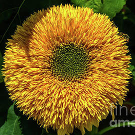Dwarf sunflower by Michelle Meenawong