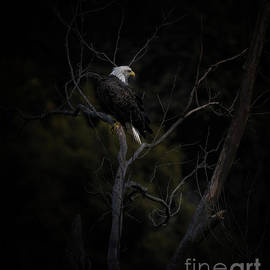 Eagle In Dead Tree by Robert Frederick