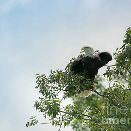Eagle In Hackberry by Robert Frederick