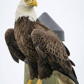 Eagle Perched on Sign by Tom Claud