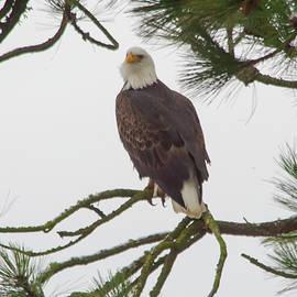 Eagle portrait  by Jeff Swan