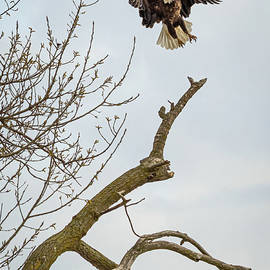 Eagle  Take Off by Joann Long