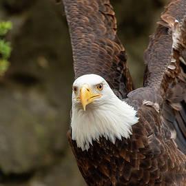 Eagle Wings by Karol Livote