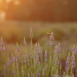 Early Bee Gets the Lavender by Kevin Anderson