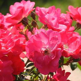Early Fall Roses by Barbara Ebeling