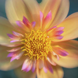 Early Morning Dahlia by Teresa Wilson
