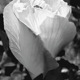 Early Morning Hibiscus Waking Up by Julieanne Case