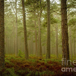 Early morning in Abernethy Forest by Robert Murray