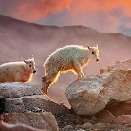 Early Morning Mountain Goat Babies by Judi Dressler