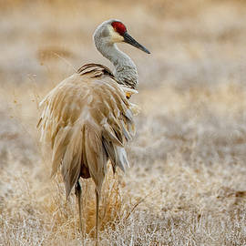 Early Morning Sandhill by David Hicks