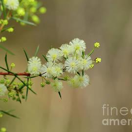 Early Wattle Flowers by Neil Maclachlan