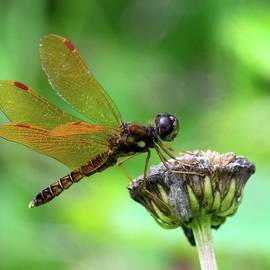 Eastern Amberwing  Dragonfly by Kirk Riedel