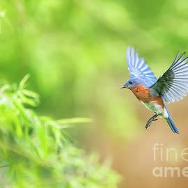 Eastern Bluebird in Flight - Male by Scott Pellegrin
