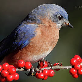 Eastern Bluebird Perched on Winterberry Branch by Lisa Campbell