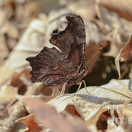 Eastern Comma by Megan McCarty
