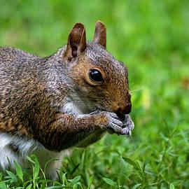 Eastern Gray Squirrel by Cathy Kovarik