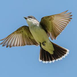 Eastern Kingbird Flight by Morris Finkelstein