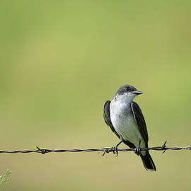 Eastern Kingbird in the Country by Debra Martz