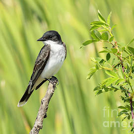 Eastern Kingbird by Michelle Tinger