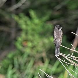 Eastern Kingbird, Norway, Maine by Steven Ralser