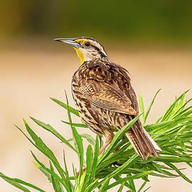 Eastern Meadowlark by Morris Finkelstein