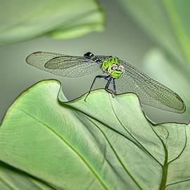 Eastern Pondhawk Dragonfly by Morey Gers