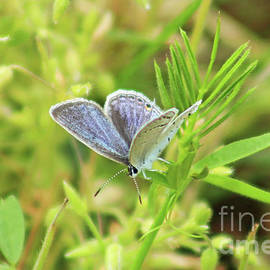 Eastern tailed Blue Butterfly by Maili Page