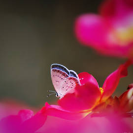 Eastern Tailed-Blue Butterfly by Marilyn DeBlock