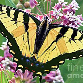 Eastern Tiger Swallowtail Butterfly on Milkweed Flower by Regina Geoghan