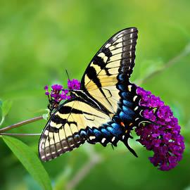 Eastern Tiger Swallowtail Female on Butterfly Bush by Marilyn DeBlock