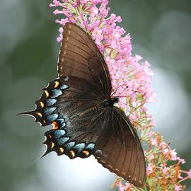 Eastern Tiger Swallowtail Female - Black Form by Marilyn De Block