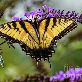 Eastern Tiger Swallowtail Vision Of Loveliness by Cindy Treger