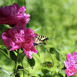Eastern Tiger Swallowtail Visiting a Peony Blossom by Sandra Huston