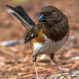 Eastern Towhee by Eric Albright