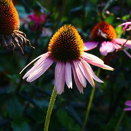 Echinacea At Summer Ends  by Christiane Schulze Art And Photography