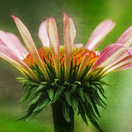 Echinacea Wide Format by Marilyn DeBlock