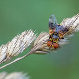 Ectophasia sp. - Tachinid fly by Jivko Nakev