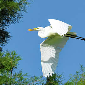 Egret Flight Port Royal by Jerry Griffin