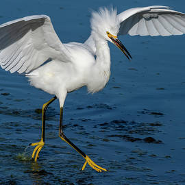 Egret on the Move  09/26 by Bruce Frye