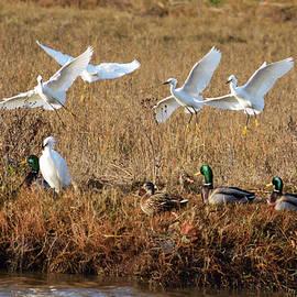Egrets and Mallards by Brian Tada