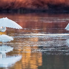 Egrets in the Afternoon 2363-010220-2 by Tam Ryan